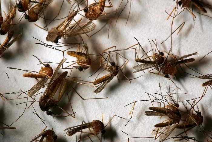 Ученые научат комаров испытывать отвращение клюдям