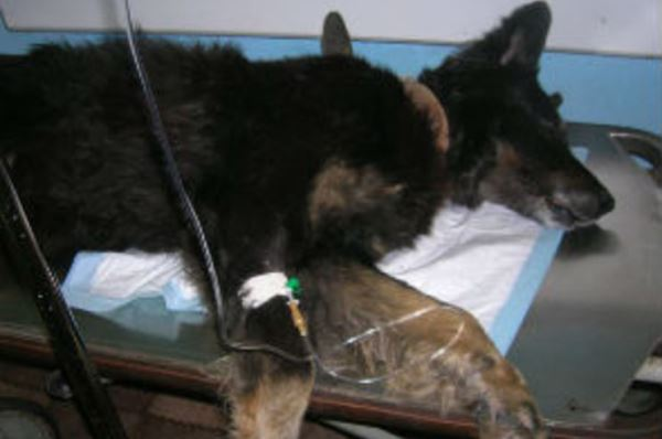 Собака операция