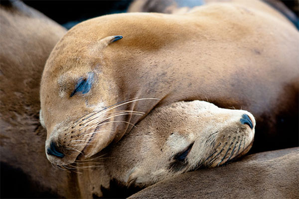морские львы