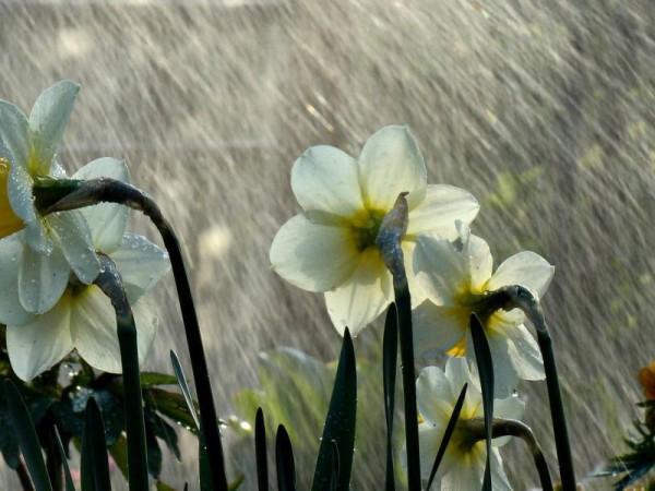 дождь цветок нарцисс