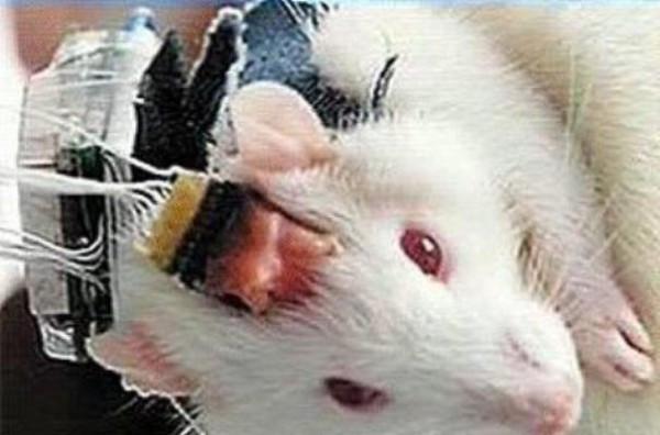 мозг мышь