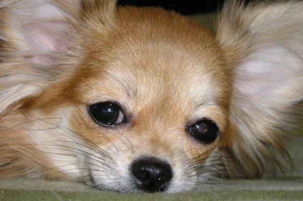 ВПодмосковье изчастного дома украли четырех собак чихуахуа