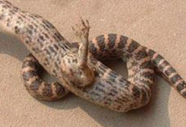 Ученые выяснили, как змеи лишились ног