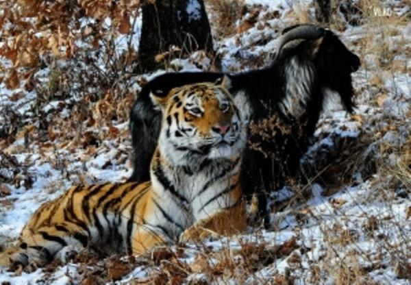 тигр козел