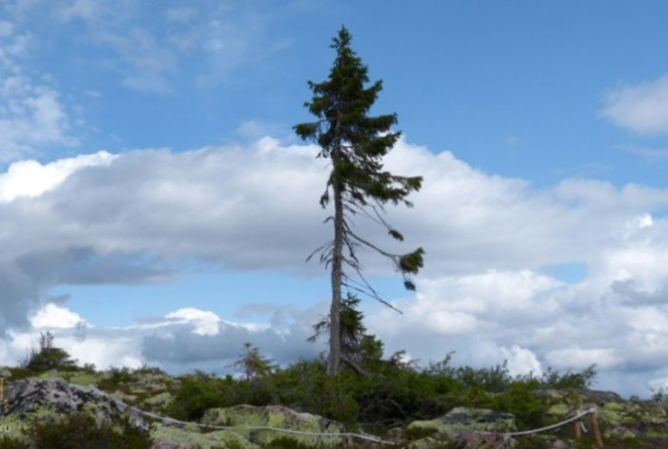 ВШвеции отыскали дерево возрастом практически 10 000 лет