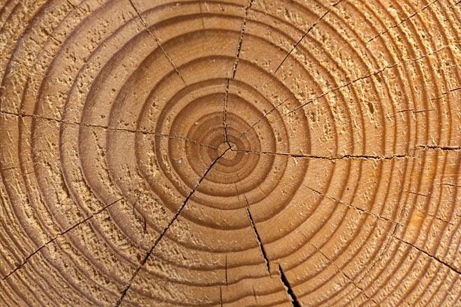 Учёные обнаружили особый исторический период, изучая годичные кольца деревьев