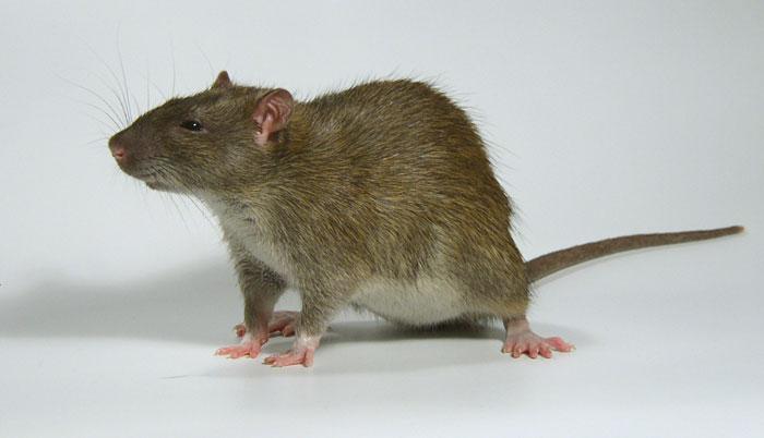 ВСША вывели трансгенных мышей, которые позапаху находят взрывчатку