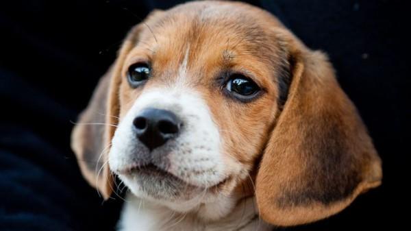 собака порода бигль