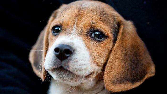 Создаются собаки сувеличенными мускулами— китайские генетики
