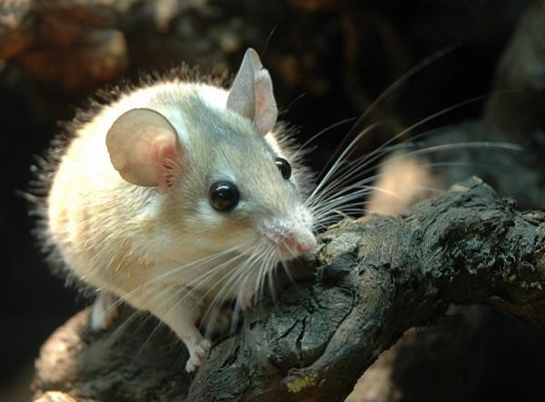 Для исследований иммунитета нужны «грязные» мыши