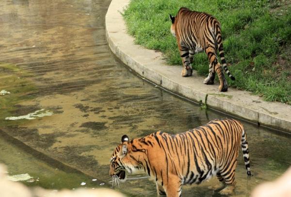 ВНидерландах изпитомника убежали два бенгальских тигра