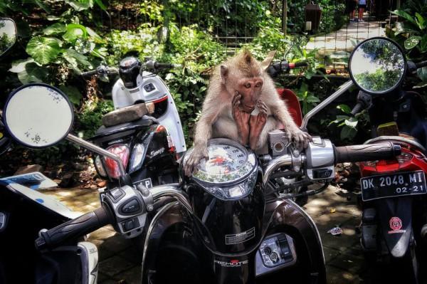 __ обезьяна, шимпанзе, макака