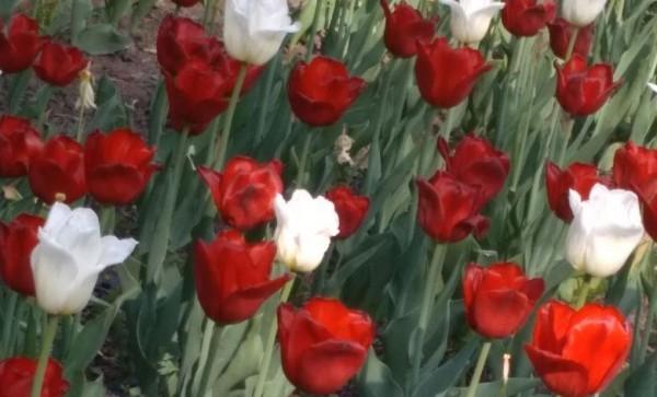 __ тюльпаны, цветы