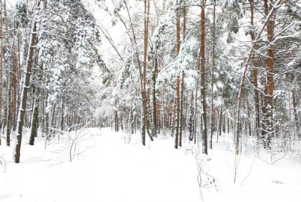 __ лес, зима
